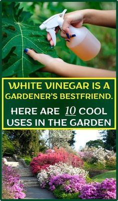 White Vinegar Is A Gardener's Bestfriend. Here Are 10 Cool Uses In The Garden White Vinegar Is A Gardener's Bestfriend. Here Are 10 Cool Uses In The Garden – Healthy Helps Garden Weeds, Lawn And Garden, Garden Plants, Summer Garden, Home And Garden, Organic Gardening, Gardening Tips, Gardening Services, Hydroponic Gardening
