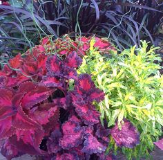 If you want color and super easy care all season long then COLEUS, COLEUS , COLEUS!