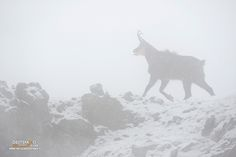 https://flic.kr/p/GXdHMH | Alpine Chamois | Rupicapra rupicapra - Camoscio alpino, Alpine Chamois  Gran Paradiso NP, Italy