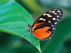 Types of Butterflies - Butterflies are one of the most adored insects for their enchanted beauty and representation of good luck and positive change. They can be found in every state, rural or residential areas, forests or fields. Beautiful Butterfly Pictures, Butterfly Photos, Butterfly Wallpaper, Nature Wallpaper, Beautiful Butterflies, Monarch Butterfly, Hd Wallpaper, Butterfly Species, Orange Butterfly