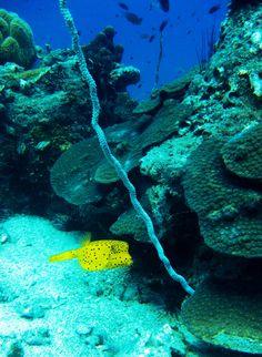 Yellow BoxFish Koh Tao Diving Thailand