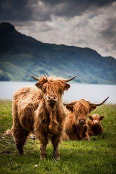 Highland Cows posing on the Isle of Skye, Scotland.