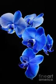 Image result for blue orchid Blue Orchids, Digital Art, Floral, Flowers, Plants, Image, Florals, Florals, Plant