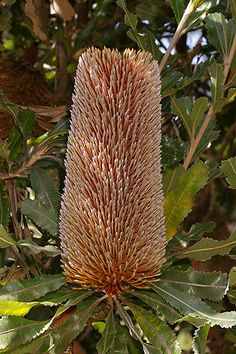 Shade Garden Flowers And Decor Ideas Banksia Serrata Australian Wildflowers, Australian Native Flowers, Australian Plants, Exotic Plants, Exotic Flowers, Pretty Flowers, Wild Flowers, Australian Native Garden, Strange Flowers
