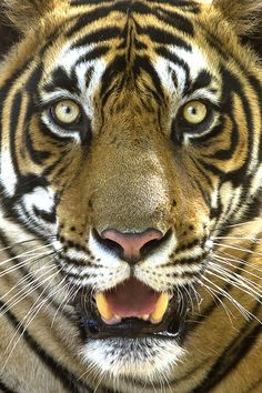 Success story: India's endangered tiger population is up 58% since 2006 : TreeHugger