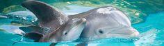 7 факта за делфините, които ще ви изумят - https://novinite.eu/7-fakta-za-delfinite-koito-shte-vi-izumyat/  #Бозайник, #Делфин, #Дрога, #Море, #Океан, #Оцеляване, #Риби, #Токсини, #Факти