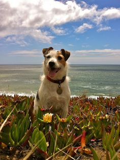 Jack Russell Summer Vacation Photos