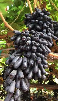 Sweet Sapphire grapes Sapphire, Beans, Fruit, Vegetables, Sweet, Blog, Fruit Bowls, Candy, Vegetable Recipes