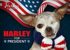 The InDOGpendent Party nominates: Harley for President  He promises: NO more puppy mills (grain, steel and textile mills are ok) NO dog left behind (in shelters)  It's time for CHANGE (get spayed and neutered)  Harley approved this message because he was lobbied (but NOT by the AKC) and he was bribed with dog treats.  YES to ending puppy mills in 2016!  ***The above information was provided by a loyal fan of Harley's and we felt it was worthy to be shared!  #HarleysDream