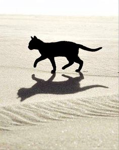 Black Cat and shadow Cute Kittens, Cats And Kittens, Crazy Cat Lady, Crazy Cats, Cool Cats, Photo Chat, Cat Silhouette, Cat Boarding, Domestic Cat