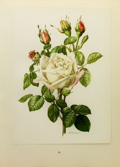 1960s Snow Queen Rose Flower Print, Vintage Botanical Illustration (For You To Frame) Book Plate No. 19