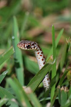 Baby Snake In The Grass