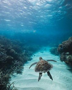 Best photos, images, and pictures gallery about baby sea turtle - sea turtle facts. Found this loving turtle photo while browsing :) Under The Water, Under The Sea, Underwater Photography, Animal Photography, Photography Ideas, Nature Photography, Beautiful Creatures, Animals Beautiful, Sea Turtle Facts