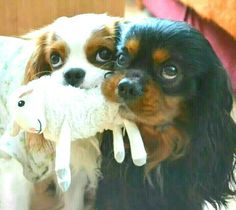 So adorable! Blenheim and Black and Tan Cavalier King Charles Spaniel