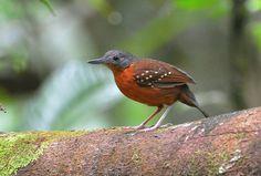 Foto formigueiro-de-asa-pintada (Myrmelastes leucostigma) por Robson Czaban | Wiki Aves - A Enciclopédia das Aves do Brasil