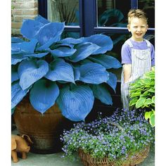 Riesen-Hosta blau 'Halcyon'