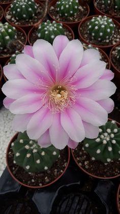Echinopsis Subdenudata Pink-White Flower