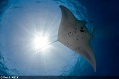 manta ray Underwater Images, Manta Ray, Diving, Whale, Surfing, Swimming, Ocean, Animals, Bed Covers