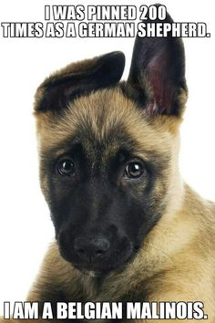 I found this on Google. Belgian Malinois owners are getting annoyed!  ;-) wish I knew the original owner of the pic. This is why you DO not remove the link. Pinterest etiquette. I agree. It's Belgian.  I did NOT include a link because it was vulgar.