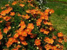 Potentilla fruticosa 'Tangerine' | front pergolla | Pinterest
