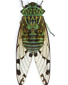 Cicada Tattoo, Insect Tattoo, Costa Rica Art, Carpenter Bee Trap, Bee Traps, Cool Bugs, Beautiful Bugs, Praying Mantis, Photo Printer