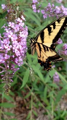 Tiger Swallowtail, breakfast with a beauty.