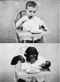 1931, Dr. Kellogg received a grant for an experiment to raise a chimp along side a human baby. His wife had just had a baby boy, David, so they decided to raise him along side a baby chimp, Gua. Things started to go wrong when David started to become more chimp-like than Gua became human-like. He only learned a few simple words and often made chimp howls when he wanted something. After only nine months, they gave up on Gua, concerned that David would fail to grow up like a normal human…