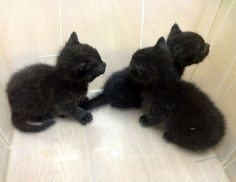 three cute rescue black kittens