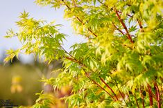 Photo Not Available Deciduous Trees, Trees And Shrubs, Coral Bark Maple, Acer Palmatum, Japanese Maple, Backyard Landscaping, Landscape, Green, Flowers