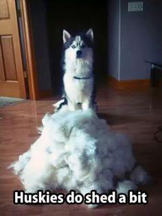 Huskies shed...so do Klee Kai's!!