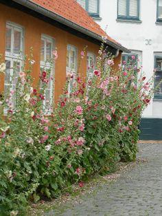 Stokkroser langs en vegg på Bornholm