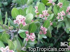 rhus integrifolia - Google Search