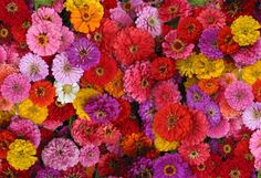 Zinnias at LynnVale Studios - In Season all summer.