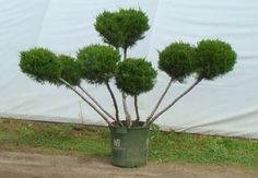 Blueview Nurseries Topiary--pom pom juniper tree