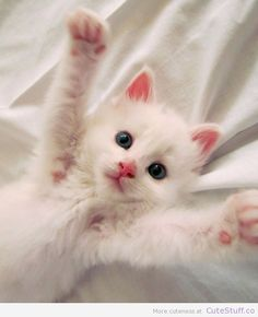 Cute white kitten, reaching with paws
