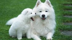 """Teresa Heaver has been breeding and caring Samoyed puppies for over 35 years. """"Teresa Heaver"""" providing general health, hips, and eye for all of their puppies and adult dogs. White Puppies, White Dogs, Dogs And Puppies, White Husky, Dogs 101, Puppies Tips, Fluffy Dog Breeds, Fluffy Dogs, Baby Animals"""