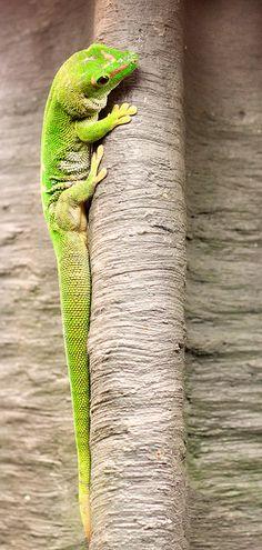 Gecko.  Yeah Baby.  Love the lizardie type of creature!!