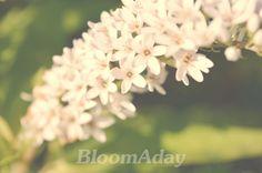 coup de canard/ soft white flower