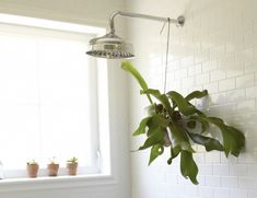 7 rooms that will make you want a staghorn fern lindo jardiner a y jardines - Botas paredes ciervo ...