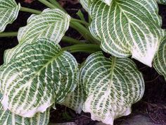 Hosta Second Coming (Bennett) Photo by Rick Goodenough