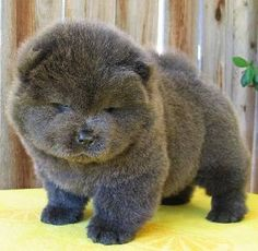 blue chow chow puppy