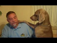 Weimaraner On Pinterest Beagles Great Danes And Bull