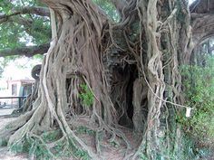 Kam Tin Tree House. Old banyan tree grew beside a stone house until it grew around and over a house leaving only stone/granite door way and other remnants.