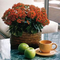 Kalanchoe Get detailed growing information on this plant and hundreds more in BHG's Plant Encyclopedia.
