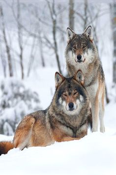 """earthdaily: """" (via 500px / Wolf; Canis Lupus by Hillebrand Breuker) """""""