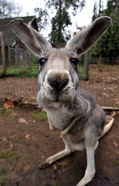 I've had a mother kangaroo (with a joey in her pouch) come up to me and sniff my face all over!!! All Gods Creatures, Cute Creatures, Beautiful Creatures, Animals Beautiful, Cute Baby Animals, Funny Animals, Animals And Pets, Animal Noses, My Animal