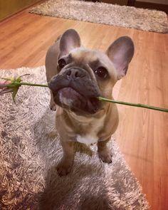 French Bulldog Puppy with a Rose, Fotka uživatele Hopfová Aneta.