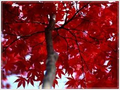 From the National Geographic collection this is a photograph looking up into the canopy of a tree. Red maple leaves, Brookside Gardens, Maryland Wall Art by Al Petteway from The National Geographic Collection at Great BIG Canvas.