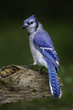 Blue Jay by Daniel Parent
