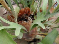 Cuidados del Cuerno de Alce ♥ método muy fácil para propagar tu helecho cuerno de alce (Platycerium bifurcatum). ¿haz notado que en la punta de las hojas más grandes por detrás hay unas manchas cafés? Se trata de los soros o esporangios, que son los receptáculos de las esporas o elementos reproductivos de los helechos, Necesitas un terrario o acuario limpio con techo de cristal, prepara mantillo, humus o compost que debes mojar y secar en el horno muy caliente para matar hongos